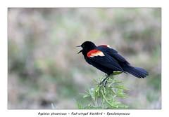 Red-winged blackbird #1 (Jan H. Boer, Nature photographer) Tags: agelaiusphoeniceus redwingedblackbird epauletspreeuw birds nature wildlife costarica loschiles cañonegro nikon d500 afsnikkor200500f56eedvr jan´sphotostream2019