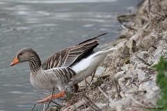 Oie cendrée (Passion Animaux & Photos) Tags: oie cendree greylag goose parc animalier saintecroix france