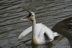 Pélican blanc (Passion Animaux & Photos) Tags: pelica blanc great whitepelican parc animalier saintecroix france