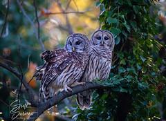 "A pair of Hooters for ""Two-for-Tuesday's""... (DTT67) Tags: nature birds wildlife raptors birdofprey autumn fall owls barredowls canon 5dmkiv canon5dmkiv"