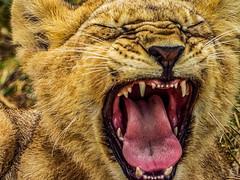 LITTLE SIMBA, BIG YAWN (eliewolfphotography) Tags: lion lions lionking lioncub wildlife wildlifephotographer wildlifephotography nature naturelovers nikon naturephotography natgeo naturephotographer natgeowild naturelover nationalgeographic safari serengeti serengetinationalpark safariphotography bigcats cats cat