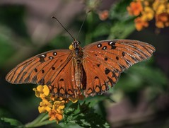 Late In The Day (ACEZandEIGHTZ) Tags: butterfly gulffritillary macro closeup wings winged nikond3200 flyinginsect agraulisvanillae orange flowers bokeh lantana dorsalview coth alittlebeauty coth5 sunrays5