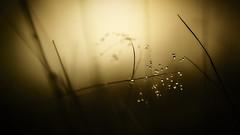 Sunset Drops (micke.vmix) Tags: carlzeiss zeiss aposonnart2135 sonnar135f2zf d850