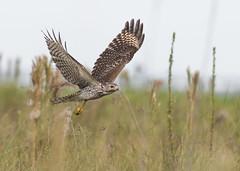 On the Hunt (PeterBrannon) Tags: bird birdofprey buteolineatus closuep florida hawk rsha redshoulderedhawk wildlife canopy