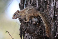 Smith's Bush Squirrel - Paraxerus cepapi (Roger Wasley) Tags: smiths bush squirrel paraxeruscepapi zambia rodent animal africa african yellowfooted tree wildlife river