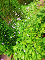 Garden Details, Sissinghurst Castle Garden, Kent, UK (photphobia) Tags: sissinghurstcastlegarden sissinghurst vitasackvillewest kent nationaltrust theweald uk england europe oldwivestale holiday outside outdoor garden flowers