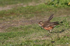 grive mauvis ( Turdus iliacus ) Plouharnel 191118d2 (papé alain) Tags: oiseaux passereaux turdidés grivemauvis turdusiliacus redwing plouharnel morbihan bretagne france