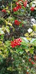 Holly (CC0 Nature Photos) Tags: focus holly winter berries publicdomain