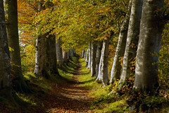 Beech Avenue (Teuchter Prof) Tags: beechtrees beeches trees deciduoustrees autumn autumnleaves aberdeenshire scotland