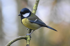 Great Tit at Wigan Flashes this morning. (stevencarruthers93) Tags: springwatch autumnwatch winterwater nature wildlife naturephotography wildlifephotography greenheart flora fauna photography nikon nikonphotography wigan wiganflashes wiganwildlife