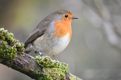 Robin at Wigan Flashes this morning! (stevencarruthers93) Tags: springwatch autumnwatch winterwater nature wildlife naturephotography wildlifephotography greenheart flora fauna photography nikon nikonphotography wigan wiganflashes wiganwildlife