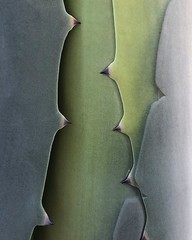 Agave Abstract (j.towbin ©) Tags: allrightsreserved© agave abstract macro minimalism iphonex teeth impressions