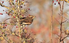 Redwing     (Turdus iliacus) (nick.linda) Tags: redberries redwing turdusiliacus thrushes wildandfree canon90d canon100400mkll northyorkshire