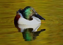 Northern Shoveler --- Anas clypeata (creaturesnapper) Tags: uk ducks europe waterbirds waterfowl birds northernshoveler anasclypeata