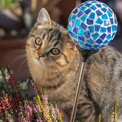 Why can't I play with this ball ? (FocusPocus Photography) Tags: leo katze kater cat tabby kitten ball deko decoration heide heather tier animal