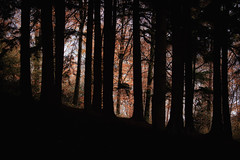 Autumn Silhouettes in the woodland in cornwall England UK (paulbnashphotography (ARPS)) Tags: woodland wood woods woodlandphoto woodlandphotography paulbnash paulbnashphotography forest forestphotography fall fallphotography beechwood trees tree trurowood idless idlesswoods idlesswoodland silhouette nature naturephotography naturephoto red colours color autumn