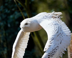 Snowy Owl in Flight (hansjoergBo) Tags: birds raptors owls nycleascandiaca