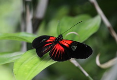 Heliconius butterfly (bugman11) Tags: heliconius red butterfly butterflies bokeh bug bugs insect insects fauna leaf leaves flora waarland nederland thenetherlands nature canon animal animals macro 100mm28lmacro
