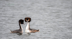 Photo of Great Crested Grebes