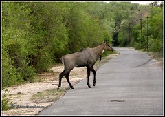 9378 - nilgai -  blue bull (chandrasekaran a 64 lakhs views Thanks to all.) Tags: nilgai bluebull rajasthan sariska canon 400d
