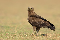 Indian Spotted Eagle (Aravind Venkatraman) Tags: 2019 av aravindvenkatraman birdphotographer birder birds birdsofindia indianbirds indian spotted eagle indianspottedeagle clanga hastata clangahastata avphotography aravind avfotography birdphotography bird birding birdwatching birdsindia birdsforeverin india indiabirds incredibleindia indianbird