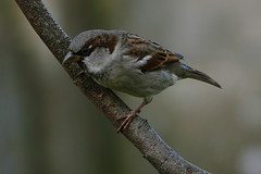 Graauw (Omroep Zeeland) Tags: vogels