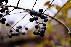 Winter Berries (Paul Anthony Moore) Tags: autumn fall berries