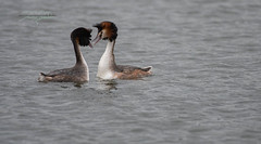 Photo of Courting Great Crested Grebes