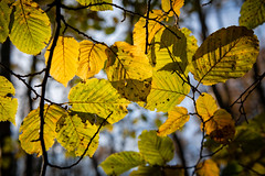 Autumn Leaves (Electric Gnome) Tags: wood trees d850 england forest eastanglia dunwich autumn nikon rural leaves uk suffolk