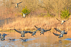 Geese on Short Final (NaturalLight) Tags: canadagoose geese inflight landing chisholmcreekpark wichita kansas