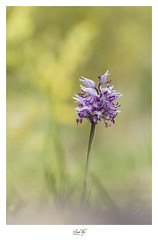 """""""L'invité du singe"""" (the world of collembola) Tags: orchidaceae orchidée orchissimia orchissinge orchidee orchis orchids flower fleur canon 6d"""