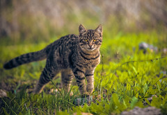 Cat (Vagelis Pikoulas) Tags: canon cat kitten bokeh yard garden vilia greece tamron vc animal pet 70200mm 6d europe greek