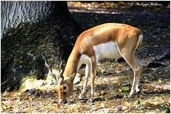 antilope mâle cervicapre ©Clères (philippedaniele) Tags: parczoologique parcdeclères antilope cervicapre fabuleuse