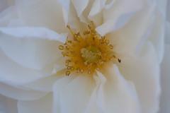 'Midsummer Snow' mid-November (Gisou68Fr) Tags: rose blanche white stamens étamines pistil midsummersnow novembre november 2019 alsace 68 hautrhin grandest france