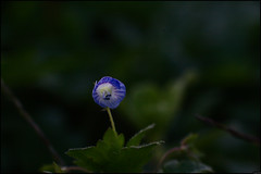 Fleur - 323/365 (Frank PRAT) Tags: project365 frankpratphotographie fleur flower bleu blue
