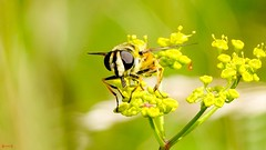 Insect - 7733 (✵ΨᗩSᗰIᘉᗴ HᗴᘉS✵84 000 000 THXS) Tags: nature macro insect insecte sony sonydscrx10m4 belgium europa aaa namuroise look photo friends be yasminehens interest eu fr party greatphotographers lanamuroise flickering