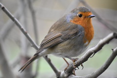 Robin at Yarrow Valley this afternoon. (stevencarruthers93) Tags: springwatch autumnwatch winterwater nature wildlife naturephotography wildlifephotography greenheart flora fauna photography nikon nikonphotography chorley coppull yarrowvalley yarrow
