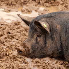 2019-365-323  #nikonpassion365 (bebopeloula) Tags: nikonpassion365 photorobertcrosnier 2019 365 alsace europe faune france hautrhin nikond700 animaux cochon mammifères