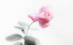 Amazing Beauty (pasquale di marzo) Tags: flower fiore rosa colore macro