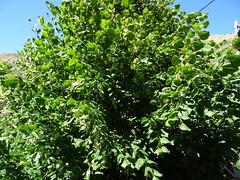 Φλαμουρια DSC08903 (omirou56) Tags: 43ratio sonydschx60v trees green nature natur natura hellas δεντρα φυλλα φυση πρασινο fabulousfoliage