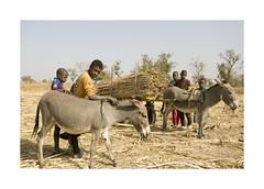 Gambia - Children (Vincent Karcher) Tags: child children people gambia gambian donkey animal west africa afrique project street rue culture farming world portrait kid kids enfants famille family vincentkarcherphotography