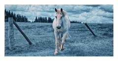 A Fiery Horse (bert • bakker) Tags: paard horse belgië daverdisse wallonië ardennen belgium vurigeschimmel nikon85mm18g elitegalleryaoi bestcapturesaoi aoi