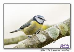 Blue Tit (blazingsun2011) Tags: birds bluetitcyanistescaeruleus cheshire eos7d naturalworld nature warrington wildlife woolstoneyesnr
