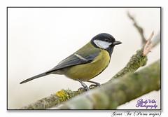 Great Tit (blazingsun2011) Tags: birds cheshire eos7d greattitparusmajor naturalworld nature warrington wildlife woolstoneyesnr