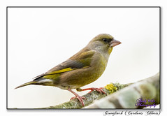 Greenfinch (blazingsun2011) Tags: birds cheshire eos7d eosd greenfinchcardueischloris naturalworld nature warrington wildlife woolstoneyesnr