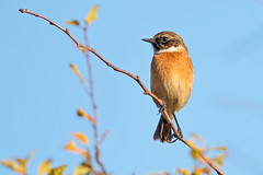 Stonechat (drbut) Tags: stonechat saxicolarubicola chats avian farmland countryside bird birds wildlife nature