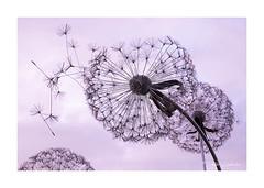 Dandelion Sculpture (PeteZab) Tags: dandelion sculpture sunset evening logford centerparcs peterzabulis