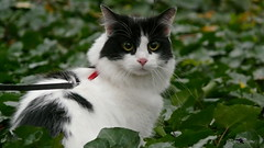 Watching you (PennaPrizma) Tags: animals cat black mate eyes autumn colors white nose cute green love