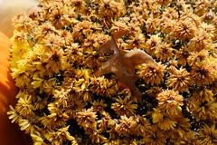 Leaf In Mums - Autumn (Modkuse) Tags: leaf mums chrysanthemums flowers nature natural art artphotography artistic artisticphotography photoart faded astia astiasimulation fujifilmastiasimulation fujifilmxt2astiasimulation fujifilm sooc straightoutofcamera nopostprocessing fujifilmxt2 fujinon xt2 fujinonxf35mmf2rwr xf35mmf2rwr