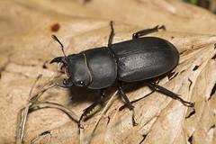 Stag Beetle. (watt.charlene) Tags: stagbeetle beetle insect animal dorset riverstour nikon d5 nikond5 wildlife